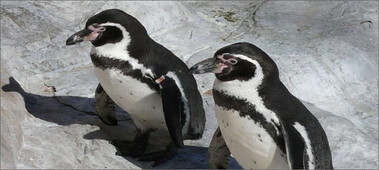пингвины-гумбольдта