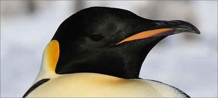 императорский-пингвин