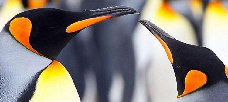 королевские-пингвины
