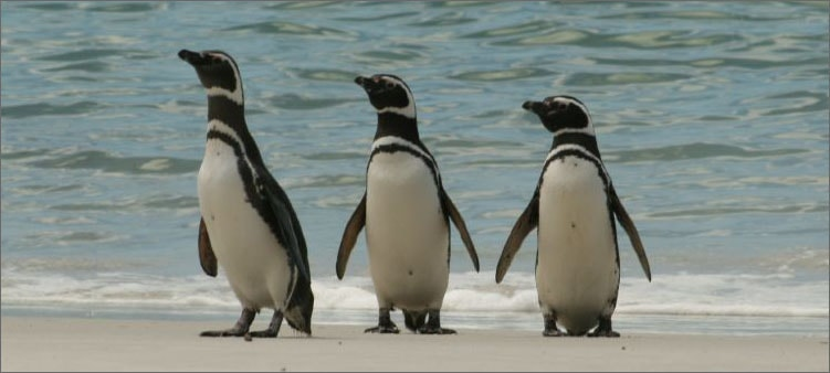 магелланов-пингвин