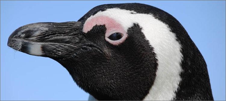ослиный-пингвин