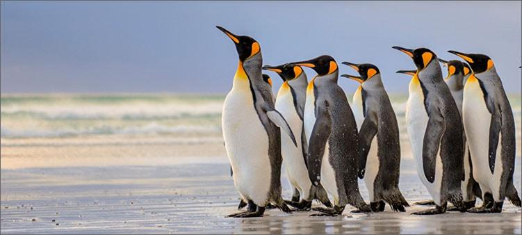 красивые-пингвины