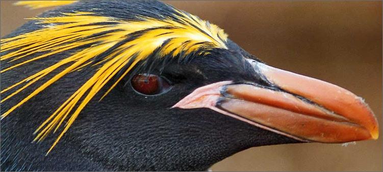 золотоволосый-пингвин
