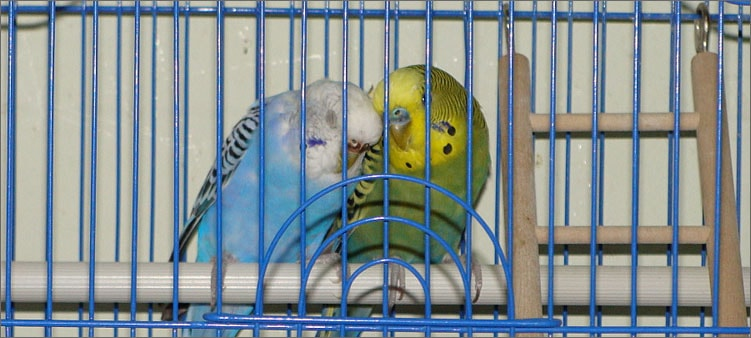 попугаи-в-клетке