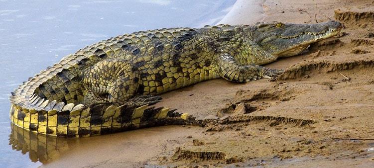 нильский-крокодил